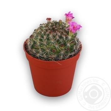 Рослина декоративна Кактус 3