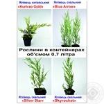 Seedlings for garden