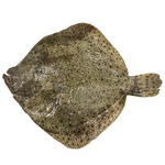 Fish flounder fresh 500-1000