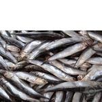 Fish sprat frozen