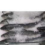 Рыба лосось свежая