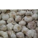 Овощи чеснок свежая
