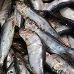 Fish sprat Samyi smak spicy salted