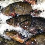 Рыба линь свежая