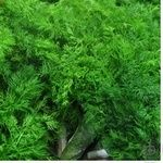 Greens dill fresh 100g Ukraine