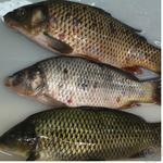 Fish carp live