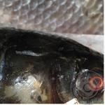 Риба білий амур свіжа для юшки