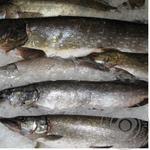 Рыба щука свежая