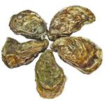 Yumma Special Live Oyster No3 1pc